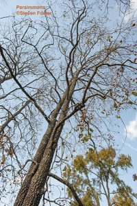 Diospyros virginiana, persimmon, was widely used as food and medicine by native groups, who made a paste of the ripe fruits, baked it into loavess about the thickness of the finger. Mixed with cornn meal, it made an excellent bread. Colonial physicians used the dried ripe fruit, the powder of the unripe fruit, the powdered inner bark or the bark of the root taken in wine for treatment of dysentery, diarrhea, fevers, hemorrhoids and other conditions. Used historically for making beer, spirits and wine.