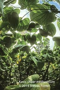 Kava, Piper methysticum