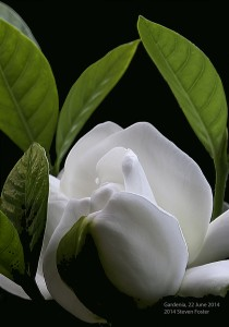 Gardenia-062214__DSC3554a