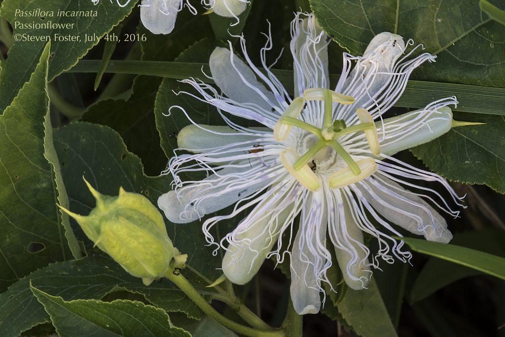 Passionflower, Passion flower, Maypop, Purple Passionflower, Passiflora incarnata