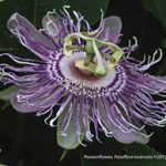Passionflower; Passion flower; Maypop; Purple Passionflower; Passiflora incarnata