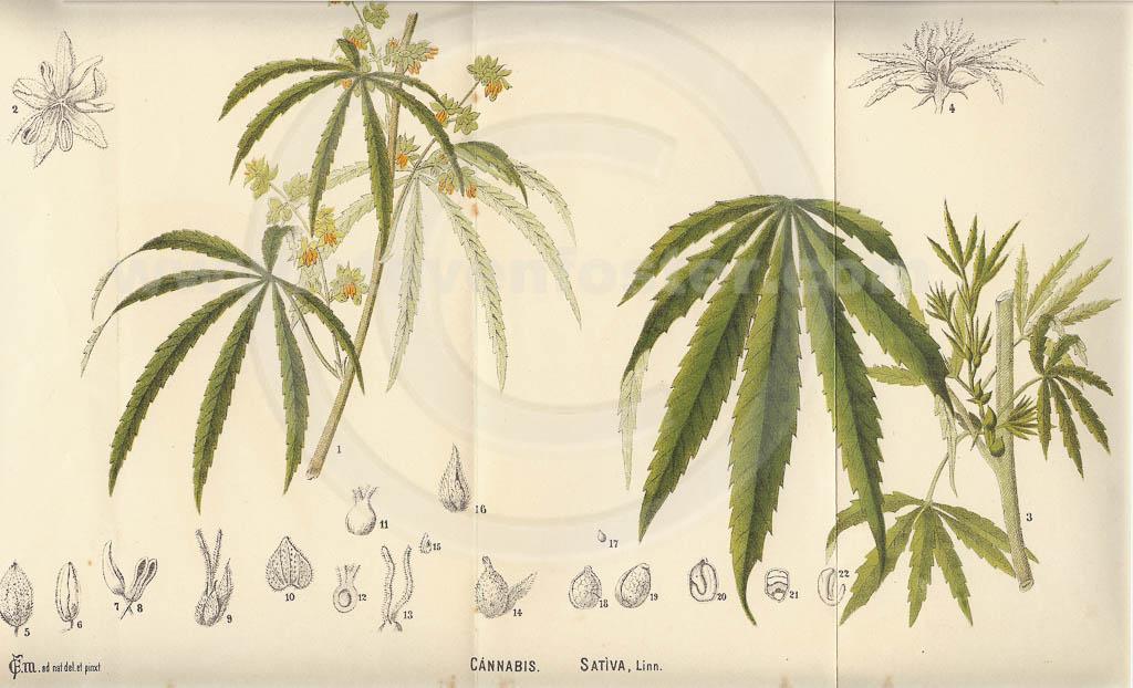 cannabis sativa linn actions and uses Database medicinal plants used ayurveda you 29 vijaya: cannabis sativa linn parts used of the plants alongwith actions and uses including ayurvedic.