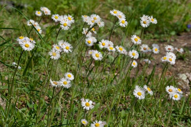 Erigeron pulchellus Steven Foster39s Images of Erigeron pulchellus Robin39s Fleabane