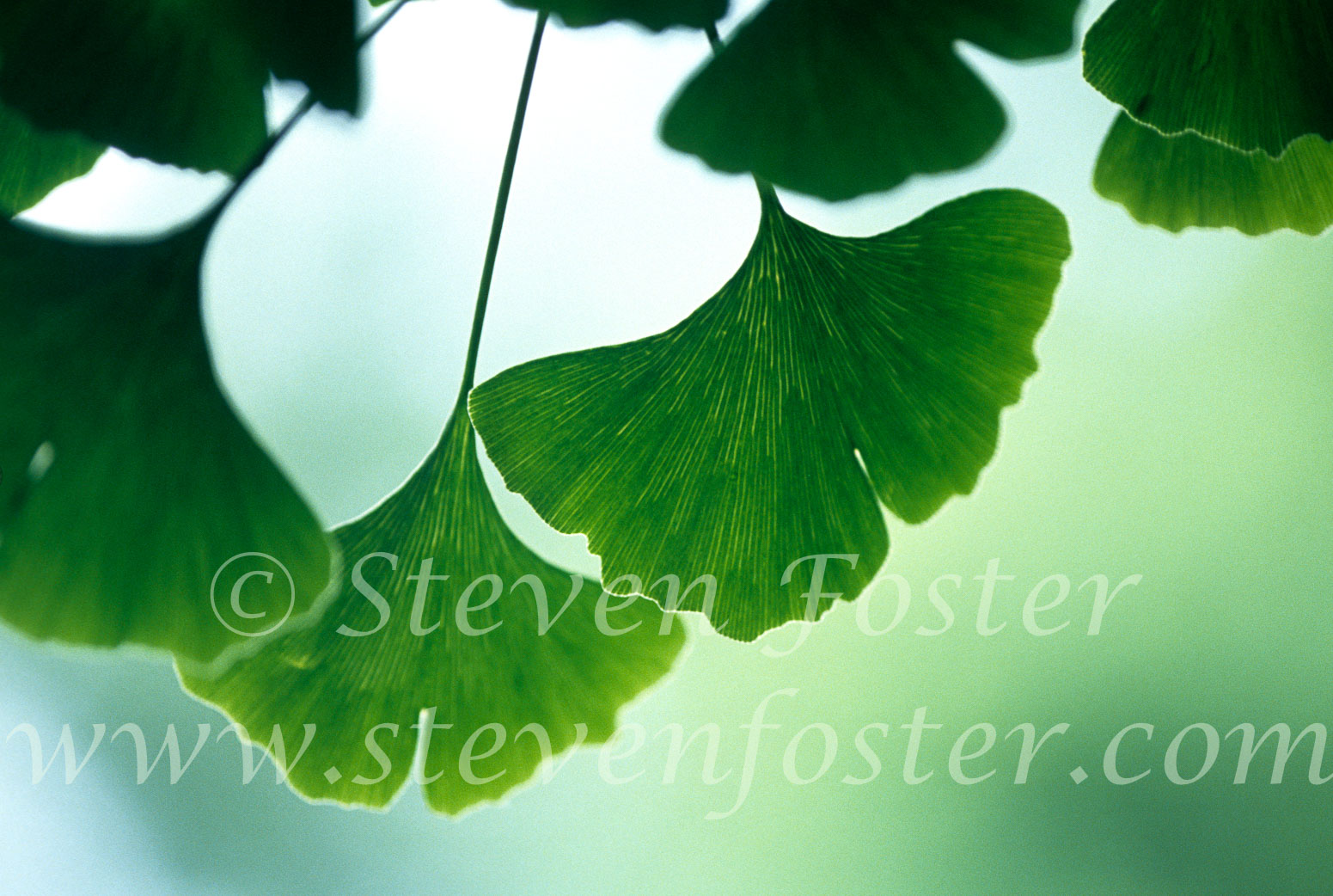 the medicinal benefits of the ginkgo leaf in china Ginkgo (ginkgo biloba) with only a few trees found in the wild in china where some are believed states for its medicinal uses and health benefits.