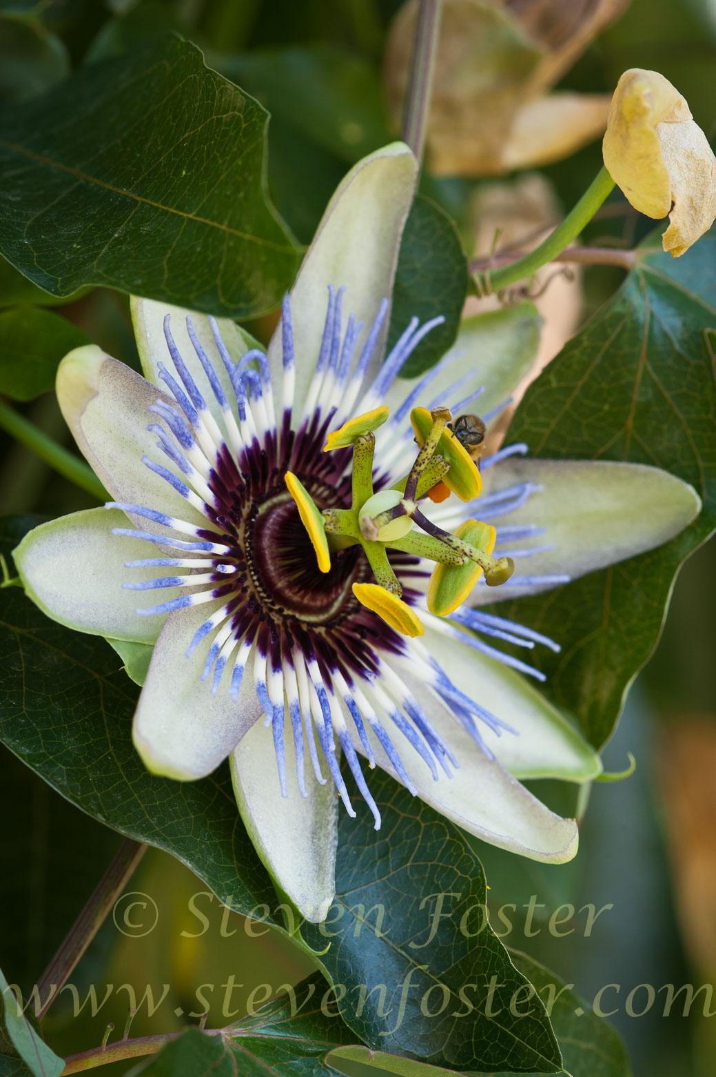Photos Of Passiflora Caerulea Blue Passionflower Common