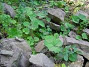 Photos and information on Petasites hybridus, Petasites