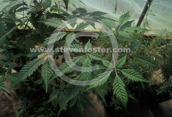 Stock photos of vitex negundo var cannibifolium vitex